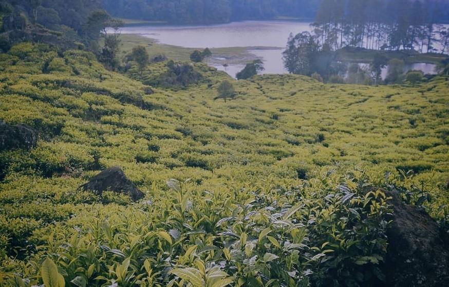 Keindahan Danau yang Berpagar Kebun Teh